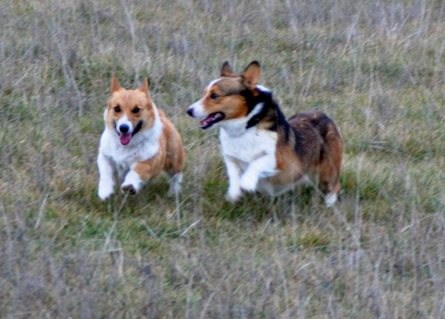 We raise PB Pembroke Welsh Corgi dogs